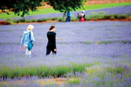 People walking through rows of Lavender at the Bridestowe Lavender Farm
