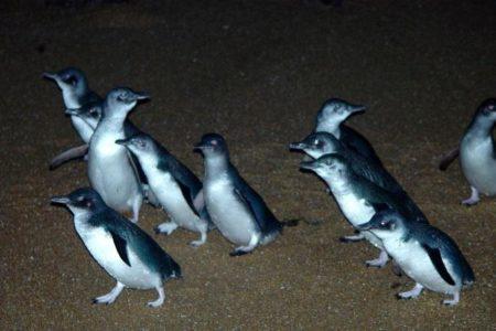 Low Head Penguins Tas