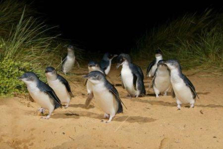 Penguin_Parade_Phillip Island VIC