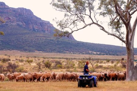 Sheep Flinders Ranges