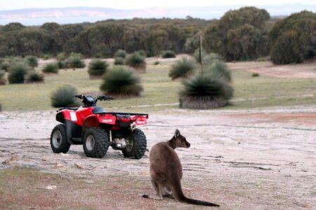 Sunset Kangaroo Safari