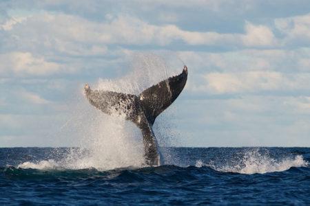 Sydney Whale Watching Explorer